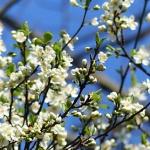Prunier en fleurs au printemps sur un fond de ciel bleu.